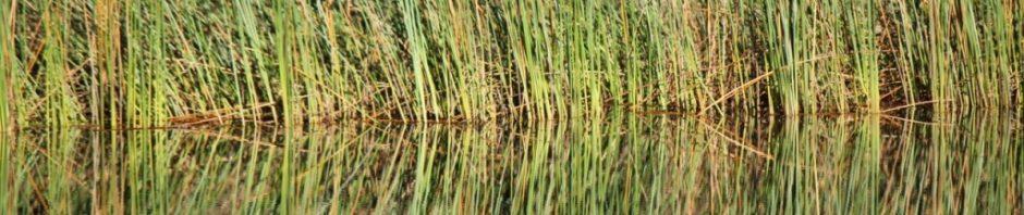 Brogo Dam Edge Reeds